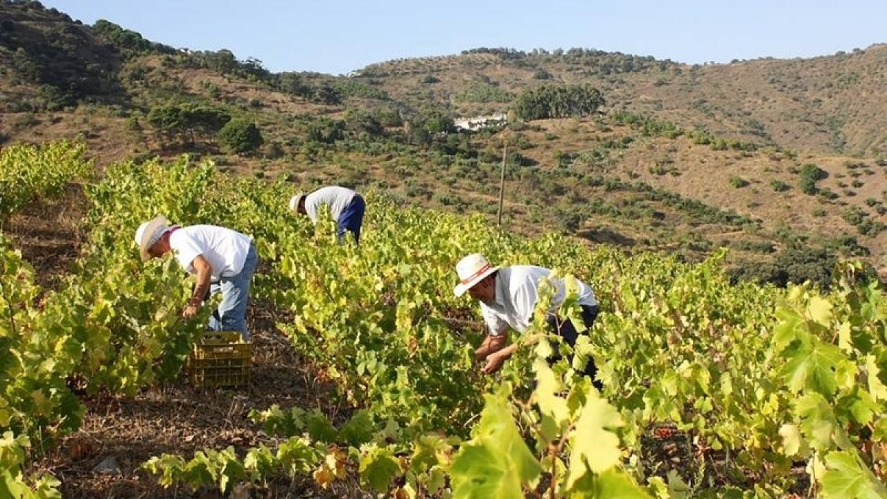 Imagen de la vendimia en la provincia de Málaga